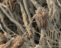 Chemists Identify Fatal Fungus