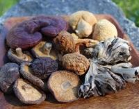 Rise of Medicinal Mushrooms